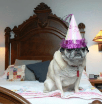 Birthday, Memes, and Pugs: th Do you celebrate your pug's birthdays?