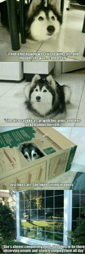 "I want this cat by unaviable MORE MEMES: Thad a husky who was raised with cats, and  thought she was. .cat herself""  ""She also satlikeacat,with herarmsand legs  tucked under herself""  Elager is en resine  Just like cats, She liked sitting in boxes  She's almost completely mute. She likes to lie there  observing people and silently judging them all day"" I want this cat by unaviable MORE MEMES"