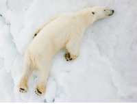 Beautiful, Memes, and Thank You: Thank you @natgeo for this beautiful and adorable polar bear photo 🐾❄️⛄️