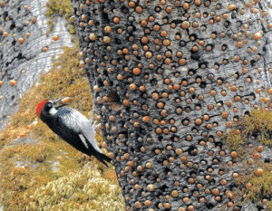 Thanks, I hate acorn woodpeckers now....: Thanks, I hate acorn woodpeckers now....