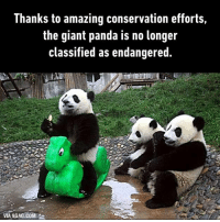 9gag, Dank, and Panda: Thanks to amazing conservation efforts,  the giant panda is no longer  classified as endangered  VIA 9GAG.COM You can't kill them, since they are dragon warriors. Kungfu Panda http://9gag.com/gag/aK3eqyg?ref=fbp