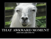 That Awkward Moment...: THAT AWKWARD MOMENT  WHEN YOUR LLAMA HATES YOU That Awkward Moment...
