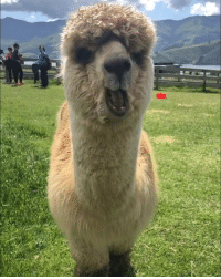 9gag, Memes, and Alpaca: That friend who eats like this - tagthatfriend alpaca 9gag