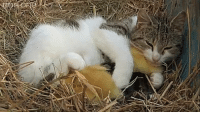 Dank, Moms, and Mother's Day: That time when a cat who had recently given birth to kittens found some baby ducklings and decided to adopt them. Happy Mother's Day to all the moms and odd ducks out there! 🐱🐣https://youtu.be/hfBjKOGlFkw