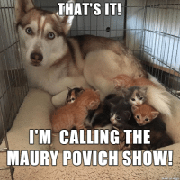 You are NOT the Paw-ther!: THATS  IT  I'M CALLING THE  MAURY POVICH SHOW  made on lur You are NOT the Paw-ther!