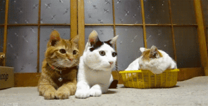 the-absolute-funniest-posts:Move your mouse over these cats back and forth in a rainbow motion. : the-absolute-funniest-posts:Move your mouse over these cats back and forth in a rainbow motion.