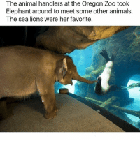Animals, Friends, and Funny: The animal handlers at the Oregon Zoo took  Elephant around to meet some other animals.  The sea lions were her favorite. Henlo friends