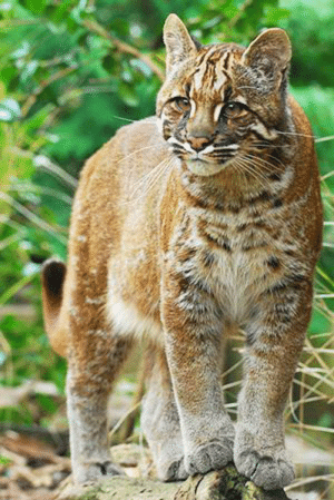 The Asian golden cat is a medium-sized feline native to SE Asia. The most conspicuous features of this cat are the distinctive off-white markings on the crown, face and cheeks, and its roundish ears and long tail. Little information is available on its behavior, range and population in the wild.: The Asian golden cat is a medium-sized feline native to SE Asia. The most conspicuous features of this cat are the distinctive off-white markings on the crown, face and cheeks, and its roundish ears and long tail. Little information is available on its behavior, range and population in the wild.