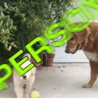Memes, Puppies, and Puppy: The attention span of a puppy. (via @bentleygoldenbear)