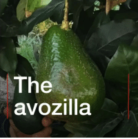Do you like a bit of avo on toast? What about A LOT? 🥑🥑🥑🥑🥑 This is the avozilla - a new giant variety of avocado that's five times the size of an ordinary one. Click the link in our bio👆 to find out more. avocado avozilla foodstagram healthyfood foodie avotoast bbcnews: The  avozilla Do you like a bit of avo on toast? What about A LOT? 🥑🥑🥑🥑🥑 This is the avozilla - a new giant variety of avocado that's five times the size of an ordinary one. Click the link in our bio👆 to find out more. avocado avozilla foodstagram healthyfood foodie avotoast bbcnews