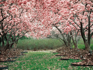 the-awesome-pictures:  Cherry Blossoms: the-awesome-pictures:  Cherry Blossoms