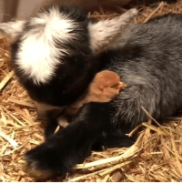 "Love, Goat, and Baby: ""The baby goat on my farm has fallen in love with this chick!"" 😍🐥🐐"