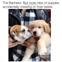 Okay, so the bulldog is Pepperoni, and the Golden is Boomer and their cuteness is out of control.Pups @itmepepperoni // @goodboybooomer: The Bachelor: But more clips of puppies  accidentally chewing on their bestie  boybooonm  me Okay, so the bulldog is Pepperoni, and the Golden is Boomer and their cuteness is out of control.Pups @itmepepperoni // @goodboybooomer