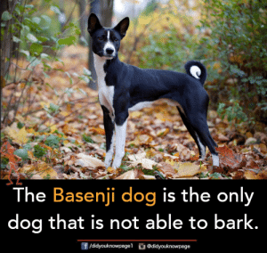 Memes, 🤖, and Doa: The Basenji dog is the only  doa that is not able to bark.  f/didyouknowpagel @didyouknowpage