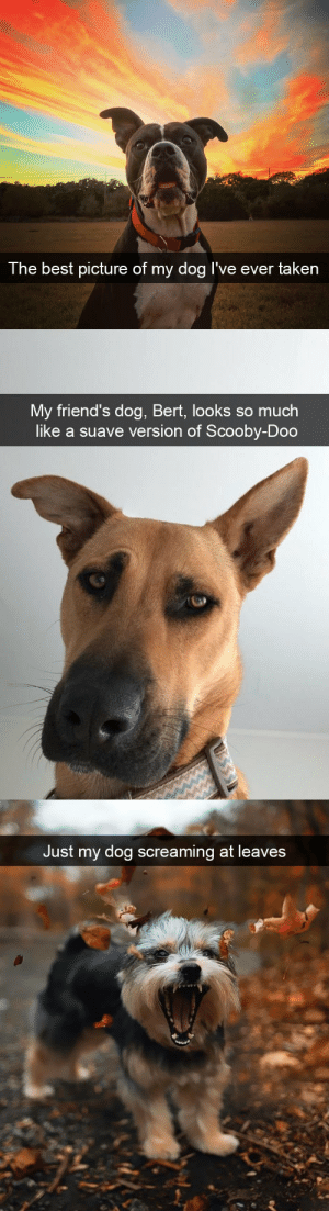 babyanimalgifs:  Amazing dog snapsvia @animalsnaps​: The best  picture of my dog I've ever taken   My friend's dog, Bert, looks so much  like a suave version of Scooby-Doo   Just my dog screaming at leaves babyanimalgifs:  Amazing dog snapsvia @animalsnaps​