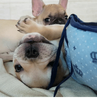 Memes, Puppies, and Best: The best way to start your day with this adorable babies... . . . . . . bulldogfrances frenchie frenchbulldog frenchies1 bullystagram instafrenchie puppylove cuddles pets cachorro cao puppies puppy mansbestfriend ilovedogs