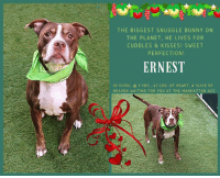 "Blessed, Butt, and Cats: THE BIGGEST SNUGGLE BUNNY ON  THE PLANET, HE LIVES FOR  CUDDLES & KISSES! SWEET  PERFECTION!  ERNEST  ID 51356, a 3 YRS., 47 LBS. OF HEART, A SLICE OF  HEAVEN WAITING FOR YOU AT THE MANHATTAN ACC TO BE KILLED 1/8/19  Don't let that worried face fool you, Ernest is all snuggle bunny personality and no one is more capable of melting your heart than this gentle, cuddly boy. It's the ""importance of being ERNEST!  <3   A volunteer writes: ""A one-of-a-kind pet who loves to socialize and isn't shy about voicing his opinion, Ernest has the handsome looks and roguish charm to get away with anything, including all the treats in your pocket! His second favorite thing is meeting new folks and instantly winning them over by melting into a snuggle session. Ernest can't get enough of butt rubs and if you scratch the side of his face he'll even curl deep into your hand like a cat. This petite cutie is blessed with a big personality and when sitting for treats he likes to follow up with a woofy reminder to hand them over pronto before gently accepting each one as though he had all the time in the world. Ernest's quiet in his den, a good leash walker, seemingly house trained and always keen to meet other dogs, a fun match for any home offering all the attention and quality time he craves. Just like his literary namesake our Ernest is a character you won't soon forget and he can't wait to make snuggly new memories with a family who'll appreciate him for the unique gem he is. Start writing your happily ever after together, today."" Hurry and get off that sofa and MESSAGE our page or email us at MustLoveDogsNYC@gmail.com right now for assistance fostering or adopting this snuggly bundle of love.  ERNEST, ID # 51356, @ 3 Yrs. Old, 47.4 lbs. Manhattan ACC, Medium Mixed Breed, Brown Brown / White, Male I came into the shelter as a agency on 26-Dec-2018.  Behavior History: Upon intake, Ernest had tail tucked when walking into admissions office but when offered treats he started wagging his tail and had a loose body. He enjoyed butt scratches and sat perfectly when told to for treats. Allowed all handling.  Basic Information:: Ernest is a male, large breed dog that was found as a stray by the police and brought into MACC  Previously lived with:: Unknown  How is this dog around strangers?: Ernest is why for a few minutes whwn meeting strangers but warms up when offered treats  How is this dog around children?: Not observed  How is this dog around other dogs?: Ernest had a waggy tail when seeing another dog.  How is this dog around cats?: Not observed  Resource guarding:: Not observed  Bite history:: Unknown  Housetrained:: Unknown  Energy level/descriptors:: Unknown  Other Notes:: Not observed  Medical Notes: Not observed  For a New Family to Know: Not observed  Behavior Assessment Date of intake:: 12/26/2018  Spay/Neuter status:: No  Means of surrender (length of time in previous home):: Stray  Date of assessment:: 12/27/2018  Look:: 1. Dog's eyes are averted, with tail wagging and ears back. Allows head to be held loosely in Assessor's cupped hands.  Sensitivity:: 1. Dog leans into the Assessor, eyes soft or squinty, soft and loose body, open mouth.  Tag:: 1. Dog assumes play position and joins the game. Or dog indicates play with huffing, soft 'popping' of the body, etc. Dog might jump on Assessor once play begins.  Paw squeeze 1:: 1. Dog gently pulls back his/her paw.  Paw squeeze 2:: 1. Dog gently pulls back his/her paw.  Flank squeeze 1:: Item not conducted  Flank squeeze 2:: Item not conducted  Toy:: 1. Minimal interest in toy, dog may smell or lick, then turns away.  Summary:: Ernest approached the assessor with a soft body. He was social during the assessment, allowed all handling, and displayed no concerning behaviors.  Summary (1):: 12/27: When introduced off leash, Ernest ignores approach from the helper dog. He briefly greets the female helper when she is nearby.  Summary (2):: 1/3: Ernest engages in brief play.  Date of intake:: 12/26/2018  Summary:: Tucked tail at first, then loosened and allowed handling  ENERGY LEVEL:: We have no history on Ernest so we cannot be certain of his behavior in a home environment. At the care center, he displays a medium level of activity.  BEHAVIOR DETERMINATION:: AVERAGE (suitable for an adopter with an average amount of dog experience)  My medical notes are... Weight: 47.4 lbs  Vet Notes 28/12/2018  [DVM Intake] DVM Intake Exam  Estimated age: 5 years +/- Microchip noted on Intake? No Microchip Number (If Applicable):  History : Brought in by NYPD  Subjective: BAR Hydr wnl  Observed Behavior - Dog was compliant with oral exam but became stressed/aggitated when attempted to muzzle and when examined ears.  Evidence of Cruelty seen - None observed  Evidence of Trauma seen - None observed   Objective   T = NE P = 160 R = wnl BCS 5/9  EENT: Eyes clear, no nasal or ocular discharge noted AU mild to mod inflammation on otoscope exam, mild d/c. no malodor. Oral Exam: minimal tartar mod gingival hyperplasia PLN: No enlargements noted H/L: NSR, NMA, CRT < 2, Lungs clear, eupnic ABD: Non painful, no masses palpated U/G: MI nsf MSI: Ambulatory x 4, skin free of parasites, no masses noted, long nails, dorsal proximal tail ovoid area of alopecia and 4 small circumscribed areas of alopecia dorsal trunk. Dull dry coat. Neuro- no signs of neurologic abnormalities  Assessment: Otitis r/o allergies Dental dz Alopecia r/o contact allergy other  Prognosis: Good  Plan: Rec clean and tx ears when sedated for neuter  SURGERY: Okay for surgery   4/01/2019  S/O pt BAR  EENT – clear serous nasal dis-charge, no ocular discharge, intermittent coughing  Assessment - Suspected CIRDC ""typical kennel cough"" Plan - + Move to isolation + 10mg/kg doxycycline PO SID for 14 days + 2 mg/kg cerenia PO SID for 4 days  + Proviable x 5 days SID PO + Recheck in 7 days for resolvement and return to general population  PROGNOSIS EXCELLENT   *** TO FOSTER OR ADOPT ***   HOW TO RESERVE A ""TO BE KILLED"" DOG ONLINE (only for those who can get to the shelter IN PERSON to complete the adoption process, and only for the dogs on the list NOT marked New Hope Rescue Only). Follow our Step by Step directions below!   *PLEASE NOTE – YOU MUST USE A PC OR TABLET – PHONE RESERVES WILL NOT WORK! **   STEP 1: CLICK ON THIS RESERVE LINK: https://newhope.shelterbuddy.com/Animal/List  Step 2: Go to the red menu button on the top right corner, click register and fill in your info.   Step 3: Go to your email and verify account  \ Step 4: Go back to the website, click the menu button and view available dogs   Step 5: Scroll to the animal you are interested and click reserve   STEP 6 ( MOST IMPORTANT STEP ): GO TO THE MENU AGAIN AND VIEW YOUR CART. THE ANIMAL SHOULD NOW BE IN YOUR CART!  Step 7: Fill in your credit card info and complete transaction   HOW TO FOSTER OR ADOPT IF YOU *CANNOT* GET TO THE SHELTER IN PERSON, OR IF THE DOG IS NEW HOPE RESCUE ONLY!   You must live within 3 – 4 hours of NY, NJ, PA, CT, RI, DE, MD, MA, NH, VT, ME or Norther VA.   Please PM our page for assistance. You will need to fill out applications with a New Hope Rescue Partner to foster or adopt a dog on the To Be Killed list, including those labelled Rescue Only. Hurry please, time is short, and the Rescues need time to process the applications."