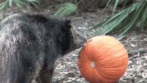 The Binturong, known as the 'bearcat', is neither a bear, nor a cat, but actually is more closely related to fossas. They have a muscular tail as long as their body, which they use both to grapple onto trees and communicate with other Binturongs. Their pee smells like freshly buttered popcorn.: The Binturong, known as the 'bearcat', is neither a bear, nor a cat, but actually is more closely related to fossas. They have a muscular tail as long as their body, which they use both to grapple onto trees and communicate with other Binturongs. Their pee smells like freshly buttered popcorn.