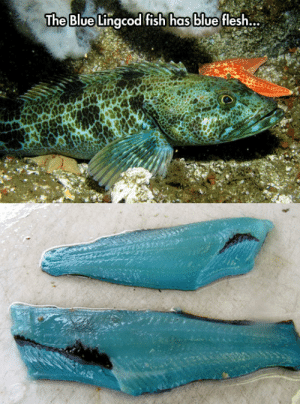 Tumblr, Blog, and Blue: The Blue Llingcod fish  has blue flesh... epicjohndoe:  Ever Seen Blue Flesh Before?