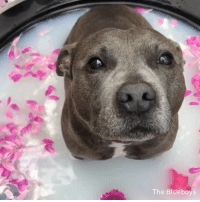 we all need to get pampered sometimes - 🎥@the_blueboys - dogspa 9gag bulldog: The Blueboys we all need to get pampered sometimes - 🎥@the_blueboys - dogspa 9gag bulldog