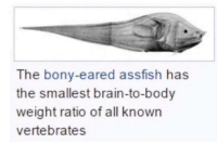 Brain, MeIRL, and All: The bony-eared assfish has  the smallest brain-to-body  weight ratio of all known  vertebrates meirl