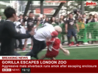 News, Run, and Bbc News: the  BREAKING NEWS  GORILLA ESCAPES LONDON ZOO  Aggressive male silverback runs amok after escaping enclosure  BBC  NEWS 19:12 Yesterday's terrifying gorilla rampage caught on camera.