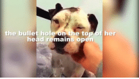 Memes, Holes, and 🤖: the bullet hole on the top  her  head remains open DID YOU SEE OUR UPDATE? Kimber was shot in the head. Keep reading to see her full update!!! ... http://hendrickboards.com/save-kimber-rdr