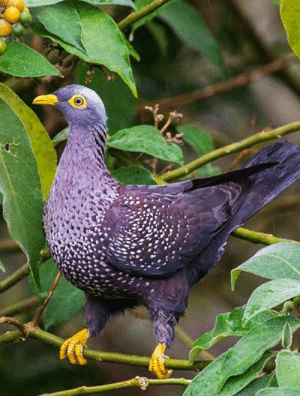 The Cameroon olive pigeon (Columba sjostedti) is found in the dense misty forests and gullies from 1000 up to 2500 m in elevation in Cameroon and adjacent Nigeria. It eats pulpy fruits and hard seeds. It has bluish gray plumage; yellow eye patches, beak and feet; and white spotting on its breast.: The Cameroon olive pigeon (Columba sjostedti) is found in the dense misty forests and gullies from 1000 up to 2500 m in elevation in Cameroon and adjacent Nigeria. It eats pulpy fruits and hard seeds. It has bluish gray plumage; yellow eye patches, beak and feet; and white spotting on its breast.