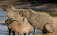 "America, Animals, and Bodies : The capybara is the largest rodent in the world. The capybara is capable of growing up to four and a half feet long, stand two feet high, and even reaches weights of up to 150 lbs. ""Capys,"" as they are often nicknamed, are native to Central and South America where they live near bodies of water in swamps, rivers, and marshes. These barrel-shaped rodents are able to stay underwater up to five minutes at a time, which is vital when hiding from predators. They feed off mainly water plants and grass, which they chew on with their long front teeth. 📷 San Diego Zoo capybara animals science"