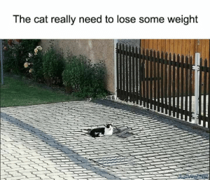 53 Funny Cat Meme Pictures That Never Fail to Make Us LOL - JustViral.Net: The cat really need to lose some weight  JusViralNet 53 Funny Cat Meme Pictures That Never Fail to Make Us LOL - JustViral.Net