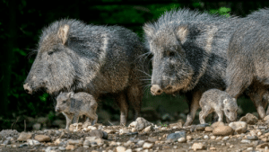 The Chacoan peccary has well-developed sinuses to combat dry, dusty conditions.: The Chacoan peccary has well-developed sinuses to combat dry, dusty conditions.