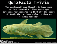 """Africa, Dating, and Target: The coelacanth was thought to have gone  extinct several m1ion years ago  but were rediscovered in 1938 off thecoast  of South Africa. Some refer to them as  uactz  UIZFacTZ tumblr com  Photo Credit: Alberto Fernandez Fernandez <p><a class=""""tumblr_blog"""" href=""""http://asaucyratlovercoveredincats.tumblr.com/post/94240885395/quizfactz-video-of-a-living-coelacanth"""" target=""""_blank"""">asaucyratlovercoveredincats</a>:</p> <blockquote> <p><a class=""""tumblr_blog"""" href=""""http://quizfactz.tumblr.com/post/94209367871/video-of-a-living-coelacanth-youtube-nat-geo"""" target=""""_blank"""">quizfactz</a>:</p> <blockquote> <p>Video of a living coelacanth</p> <p><a href=""""http://www.youtube.com/watch?v=4jl_txxYQEA"""" target=""""_blank"""">(Youtube - Nat Geo Wild)</a></p> </blockquote> <p><span>Much of the ocean remains unexplored and it's not surprising that new creatures are discovered every now and then.</span></p> <p>Some scientists believe that there may be more thought-to-be-extinct marine creatures in the depths of the ocean dating back to the age of the dinosaurs.</p> </blockquote>"""