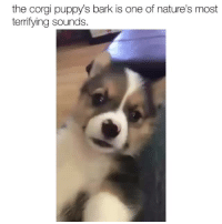 <p>Beware of this corgi <br/></p>: the corgi puppy's bark is one of nature's most  terrifying sounds. <p>Beware of this corgi <br/></p>