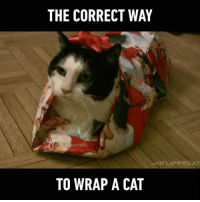 What a precious present Follow @9gag App📲👉@9gagmobile 👈 9gag (credit: Flippycat) christmaspresents christmas wrappingpaper cute: THE CORRECT WAY  FLIP PYCAT  TO WRAP A CAT What a precious present Follow @9gag App📲👉@9gagmobile 👈 9gag (credit: Flippycat) christmaspresents christmas wrappingpaper cute