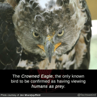 Memes, Eagle, and Flickr: The Crowned Eagle, the only known  bird to be confirmed as having viewing  humans as prey.  Photo courtesy of Jon Mountjoy/flickr  @factsweird