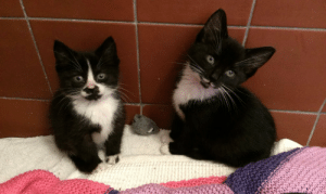 the-cute-kitten:  8 week old kittens at the RSPCA :): the-cute-kitten:  8 week old kittens at the RSPCA :)