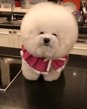 Instagram, Target, and Blank: The cutest ball of fluffvia @bichon_tori