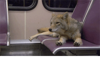 Cute, Gif, and Tumblr: the-dog-fandom:  bruce-dick-in-son:fourgasm:  sytorofoam-boots-blog:  I thought the coyote stretching its paws was cute so I made a GIF of it.  toes  Why is there a coyote on a bus.   because they can't drive