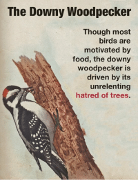 Today, we have a lesson about the downy woodpecker.  What bird behavior amazes you?: The Downy Woodpecker  Though most  birds are  motivated by  food, the downy  woodpecker is  driven by its  unrelenting  hatred of trees. Today, we have a lesson about the downy woodpecker.  What bird behavior amazes you?