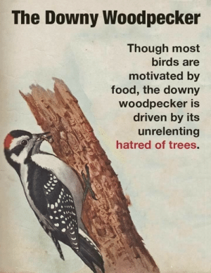 unrelenting: The Downy Woodpecker  Though most  birds are  motivated by  food, the downy  woodpecker is  driven by its  unrelenting  hatred of trees.