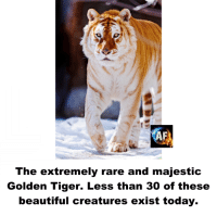 Beautiful, Memes, and Tiger: The extremely rare and majestic  Golden Tiger. Less than 30 of these  beautiful creatures exist today.
