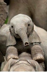 THE FACE OF AN ANGEL WITH A TRUNK THAT HAS THE SHAPE OF A HEART... for an opening...our world would lose so much, if we lost these magnanimous beings...we must do all we can to save them...please, check out the link below, on how we can help to stop this atrocity, of their extinction...do not buy tickets to zoos or circuses...boycott all websites and stores that sell ivory....also, sign petitions, and send letters to those in power, to keep the pressure on...the message must be clear....we will not let the elephants disappear...THE MAGNIFICENT ELEPHANTS MUST GRACE THIS PLANET, FOREVER!!!...Animal Freedom Fighter  http://www.elephantvoices.org/support-now/what-you-can-do-support-now-70.html