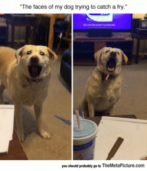 "Tumblr, Blog, and Dog: The faces of my dog trying to catch a fry.""  you should probably go to TheMetaPicture.com lolzandtrollz:  Catching A Fly"
