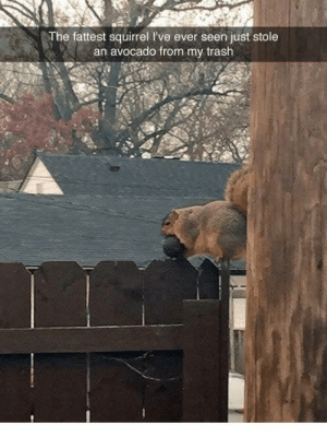 me_irl: The fattest squirrel I've ever seen just stole  an avocado from my trash me_irl