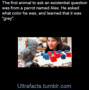 "princessleastlikely: twilighttheunicorn:  mandopony:  ultrafacts:  Alex (1976 – September 6, 2007) had a vocabulary of over 100 words, but was exceptional in that he appeared to have understanding of what he said. For example, when Alex was shown an object and was asked about its shape, color, or material, he could label it correctly. He could understand that a key was a key no matter what its size or color, and could figure out how the key was different from others. One day, he asked what color he was, and learned ""grey"" after being told the answer six times. This made him the first non-human animal to have ever asked an existential question. [x] Alex's last words were also ""You be good, see you tomorrow. I love you."" [x]  These were the same words that Alex would say every day when his owner left the lab. (Fact Source) Follow Ultrafacts for more facts   ""You be good, see you tomorrow. I love you."" a parrot actually said these words, and meant it, before he died. I'm getting choked up  Alex the parrot is actually one of my favorite animal intelligence stories/examples. What a smart birb.   Oh my goodness. : The first animal to ask an existential question  was from a parrot named Alex. He asked  what color he was, and learned that it was  ""grey  Ultrafacts.tumblr.com princessleastlikely: twilighttheunicorn:  mandopony:  ultrafacts:  Alex (1976 – September 6, 2007) had a vocabulary of over 100 words, but was exceptional in that he appeared to have understanding of what he said. For example, when Alex was shown an object and was asked about its shape, color, or material, he could label it correctly. He could understand that a key was a key no matter what its size or color, and could figure out how the key was different from others. One day, he asked what color he was, and learned ""grey"" after being told the answer six times. This made him the first non-human animal to have ever asked an existential question. [x] Alex's last words were also ""You be good, see you tomorrow. I love you."" [x]  These were the same words that Alex would say every day when his owner left the lab. (Fact Source) Follow Ultrafacts for more facts   ""You be good, see you tomorrow. I love you."" a parrot actually said these words, and meant it, before he died. I'm getting choked up  Alex the parrot is actually one of my favorite animal intelligence stories/examples. What a smart birb.   Oh my goodness."