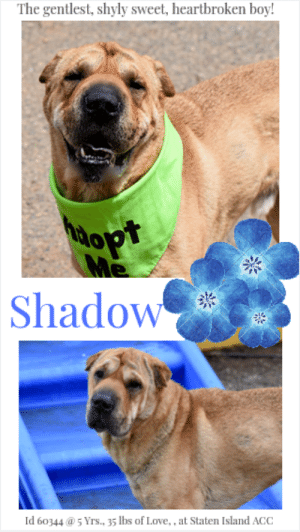 Being Alone, Cats, and Children: The gentlest, shyly sweet, heartbroken boy!  oP  Shadow  Id 603445 Yrs., 35 lbs of Love,, at Staten Island ACC TO BE KILLED – 4/27/2019  It's so sad to watch Shadow's video. In the first few seconds, you see how sad he is, how lost and lonely. He looks about, probably hoping the family he loved and that left him behind have come back. But they haven't. But in only minutes you see just how incredibly sweet he is. He may be a shy wallflower, timid of the great big world, but under the care and attention of the volunteers, who give him treats and pet him, he has blossomed. Gentle hearted and gently playful, he is so happy to be in company. We know that this wonderful boy with his sterling resume of skills is having a hard time getting by the loss of his family, and shame on them. But in the hands of an experienced foster or adopter we know he will be a wonderful companion. All he needs is patience, and the ability to warm to his new family who we hope, with all OUR hearts, will be deserving of him and give him all the happiness his heart can hold. Please watch his video, fall in love, and then hurry and message our page or email us at MustLoveDogsNYC@gmail.com for assistance fostering or adopting Shadow.  MY MOVIE! Shadow is heartbroken and lonely, but loves treats: https://youtu.be/6dU4Qj8IQxE  SHADOW, ID# 60344, 5 Yrs. 9 Mos. old, 35.8 lbs, Unaltered Male Staten Island ACC, Medium Mixed Breed (Sharpei mix), Tan Owner Surrender Reason: Moving – No Pets Allowed Shelter Assessment Rating: NEW HOPE ONLY  Recommend: Adult only home (kids over 13 ok)   AT RISK MEMO: Shadow has been reported to be fearful of strangers in line with what has been observed in the care center. Shadow has growled at handlers and has shown some signs of guarding of food. Shadow is available to New Hope partners only, who can provide training to help Shadow gain trust with handlers and others who he considers strangers. Shadow is also underweight and have continued