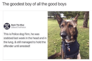 Bones, Finn, and Head: The goodest boy of all the good boys  ACK  THE  LUE  Back The Blue  @BackThePolice  This is Police dog Finn, he was  stabbed last week in the head and in  the lung, & still managed to hold the  offender until arrested! this dog chews on steel bones