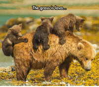 "The grass is lava.o. <p>Bears At Play.<br/><a href=""http://daily-meme.tumblr.com""><span style=""color: #0000cd;""><a href=""http://daily-meme.tumblr.com/"">http://daily-meme.tumblr.com/</a></span></a></p>"
