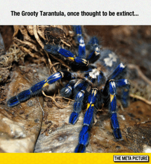 Beautiful, Tumblr, and Blog: The Grooty Tarantula, once thought to be extinct...  THE META PICTURE srsfunny:That Blue Is Beautiful
