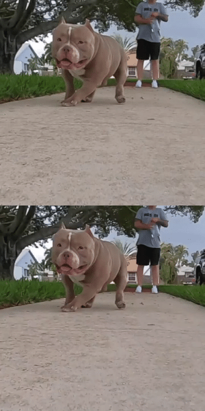 "The happiest (and hoppiest) bully in the world 🌎 ""Chunk"" (Source): The happiest (and hoppiest) bully in the world 🌎 ""Chunk"" (Source)"